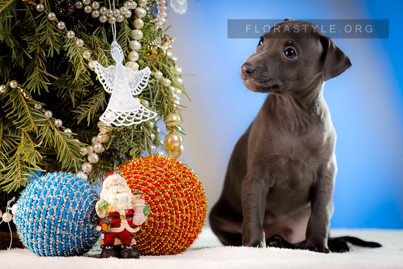 Puppy Italian Greyhound kennel Flora Style | Indigo Flora Style
