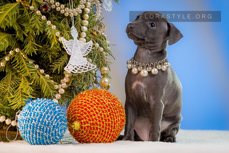 Puppy Italian Greyhound kennel Flora Style | Isida Flora Style