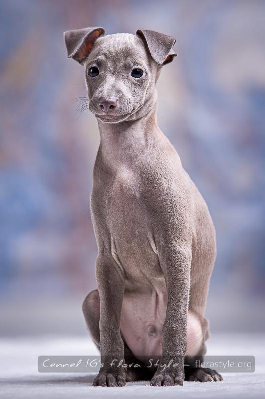 Italian greyhound puppy pictures - Golden Dream Flora Style | florasyle.org