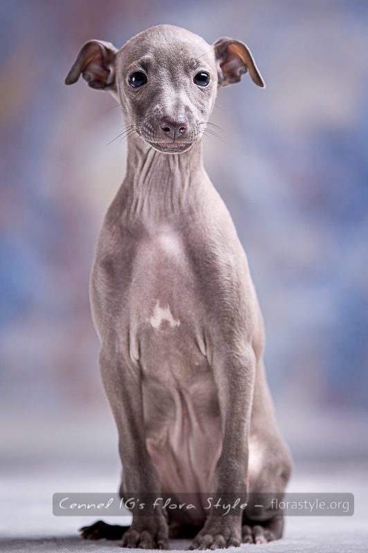 Italian greyhound puppy pictures - Glory Way Flora Style | florasyle.org
