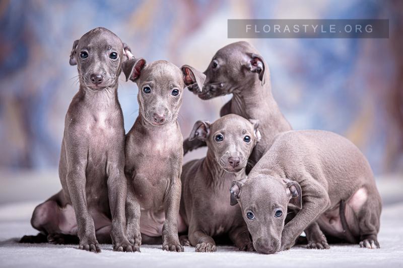 Italian Greyhound puppies Kennel Flora Style, Ukraine, Kiev | Litter G