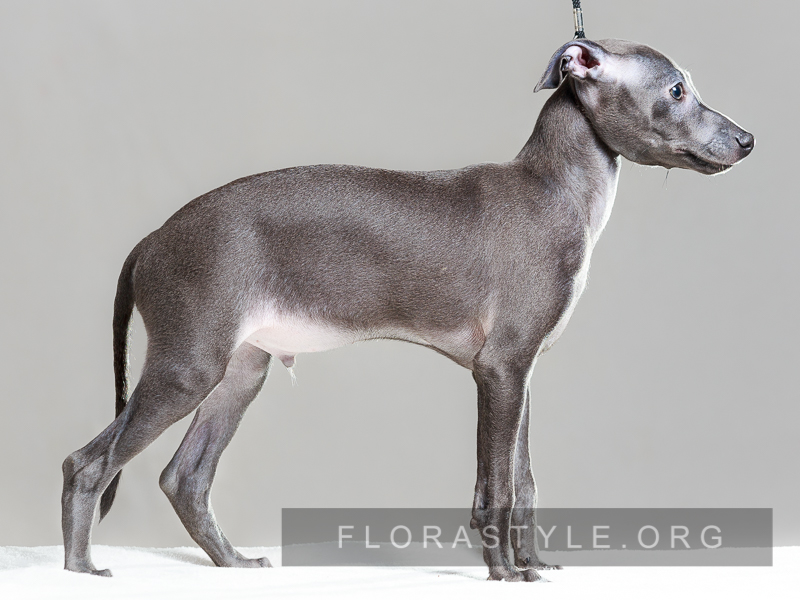 Italian Greyhound puppies Kennel Flora Style | Disel Flora Style