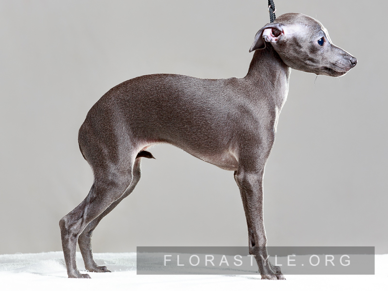 Щенки левретки в питомнике Flora Style | Dolce Vita Flora Style