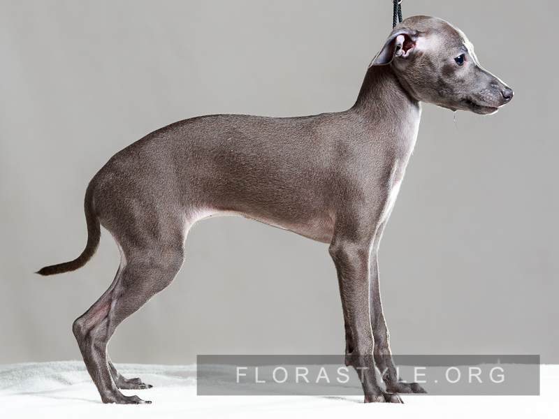 Italian Greyhound puppies in the kennel Flora Style | Daikiriya Flora Style