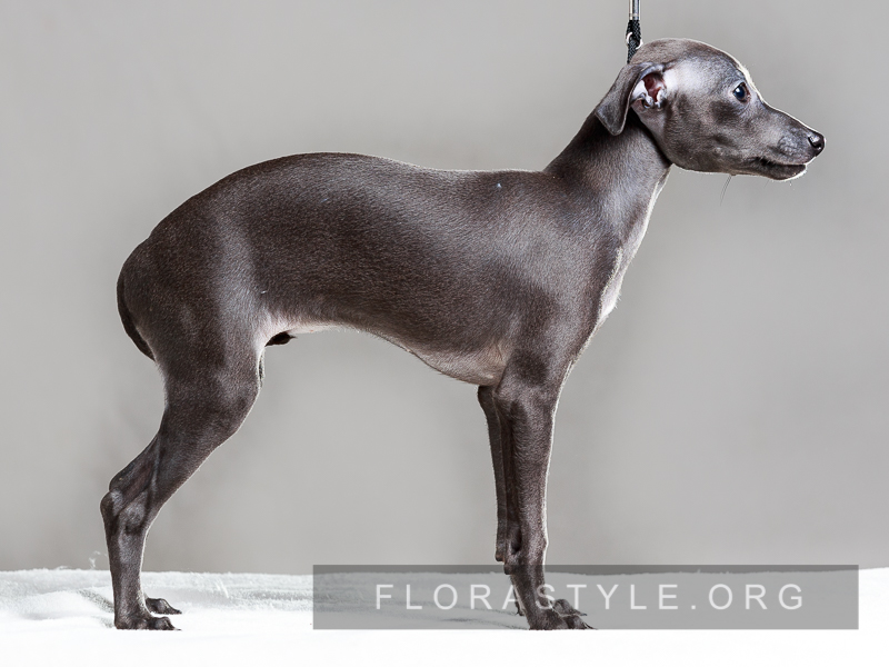 Italian Greyhound puppies in the kennel Flora Style | Daenerys Flora Style