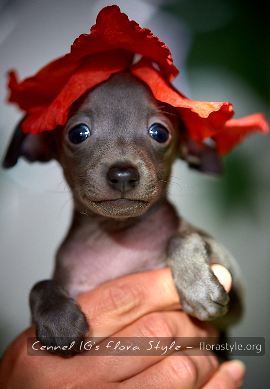 Italian greyhound puppy pictures - Narnia Flora Style | florasyle.org