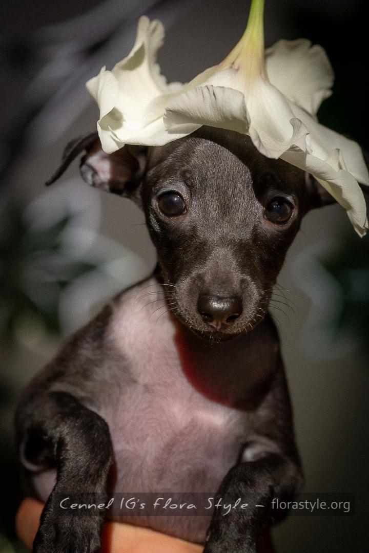 Italian greyhound puppy pictures - Naomi Flora Style | florasyle.org