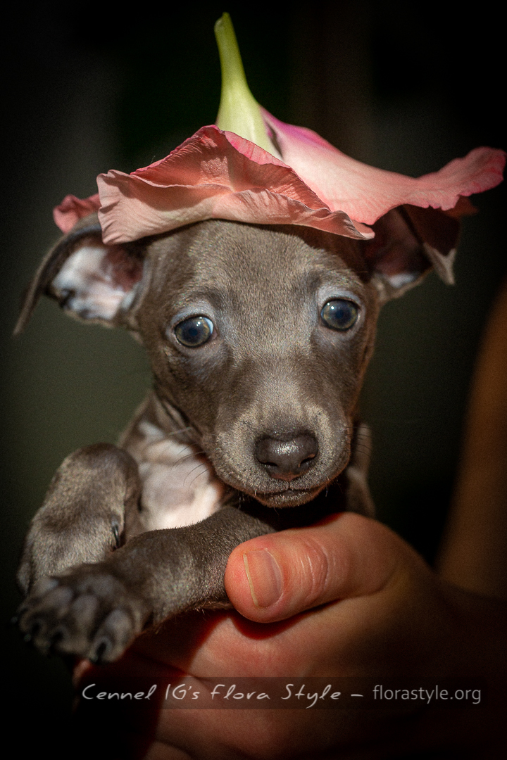talian greyhound puppy pictures - Nirvana Flora Style | florasyle.org