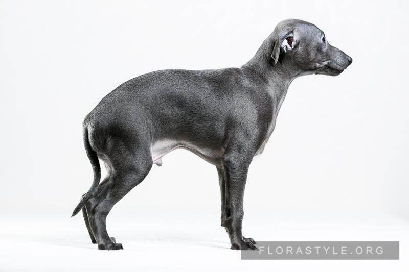 Italian Greyhound puppies Kennel Flora Style | Cornelius Flora Style