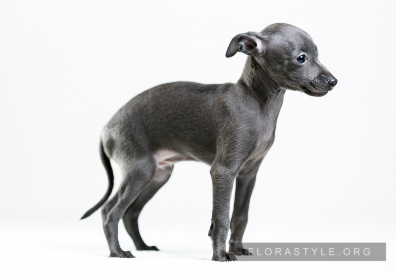 Italian Greyhound puppies Kennel Flora Style | Castor Flora Style