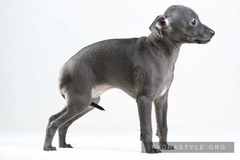 Italian Greyhound puppies Kennel Flora Style | Calypso Flora Style