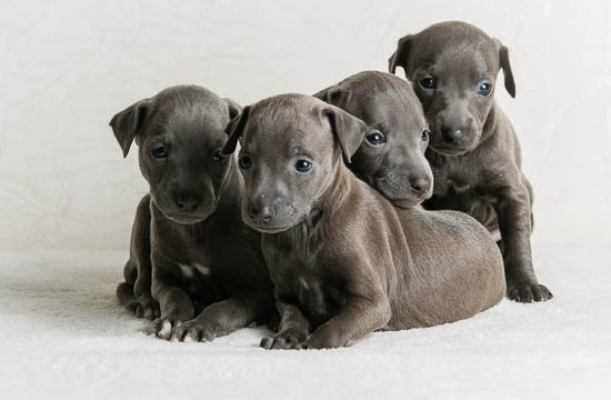 Italian Greyhound puppies Kennel Flora Style | Litter A