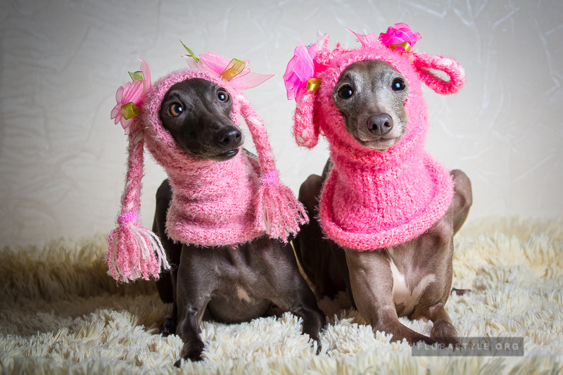 What Clothes To Put On A Puppy Italian Greyhound