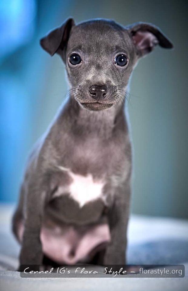 Фотографии щенка малой итальянской борзой - Modigliani Flora Style | florasyle.org