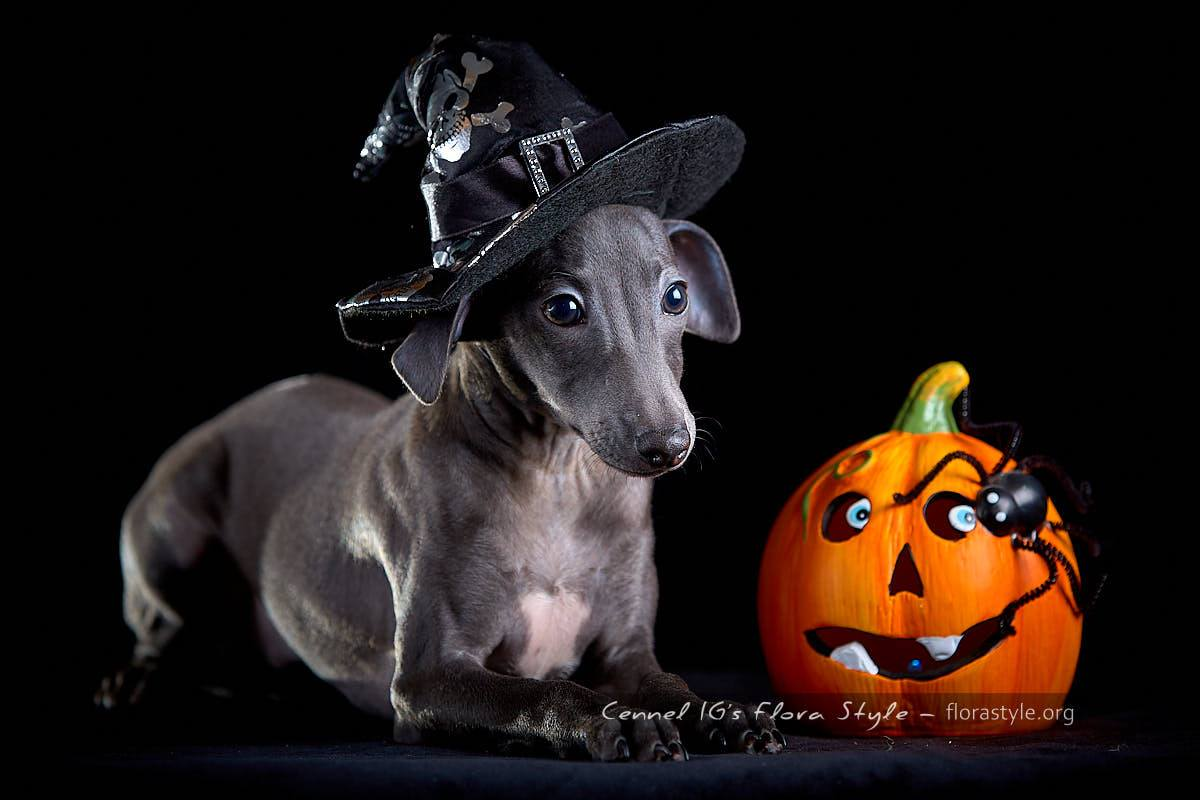 """Puppies of the litter """"N""""- Kennel IG Flora Style wish you a happy Halloween!"""
