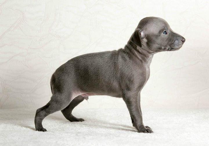 Italian Greyhound puppies Kennel Flora Style | Aramis Flora Style
