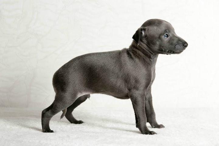 Italian Greyhound puppies Kennel Flora Style | Amore mio d'Artagnan Flora Style