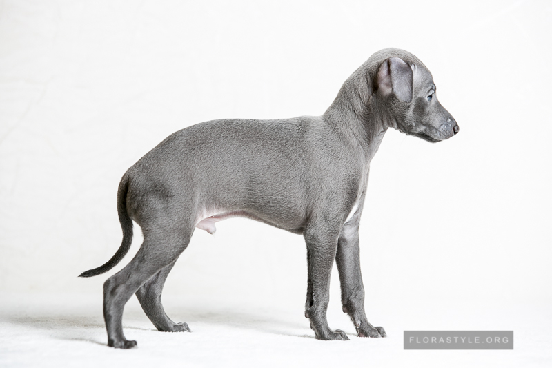 Italian Greyhound puppies in the kennel Flora Style   Boston Flora Style