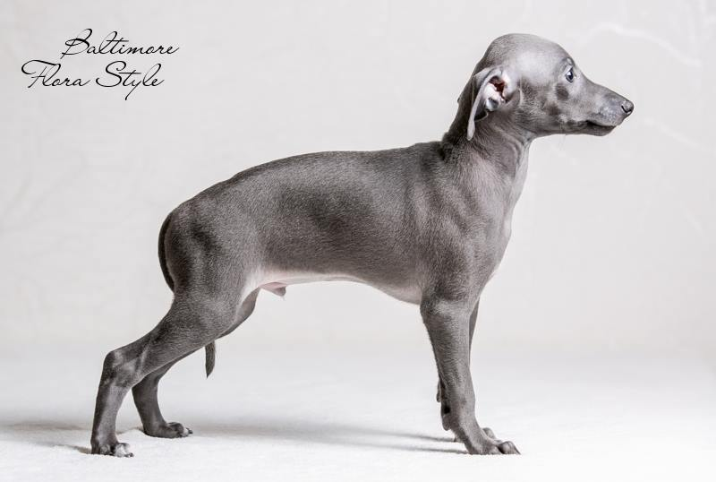 Italian Greyhound puppies in the kennel Flora Style | Baltimor Flora Style