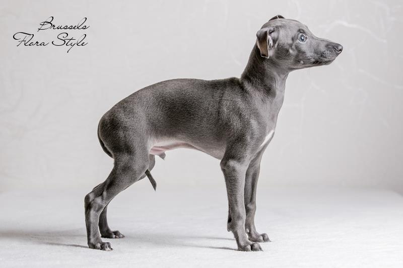 Italian Greyhound puppies in the kennel Flora Style | Brussels Flora Style