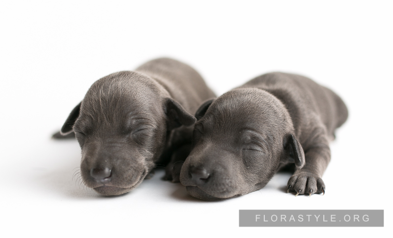 Щенки левретки в питомнике Flora Style | Italian Greyhound puppies in the kennel Flora Style