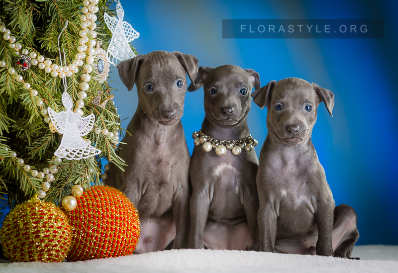 Italian Greyhound puppies Kennel Flora Style | Litter I