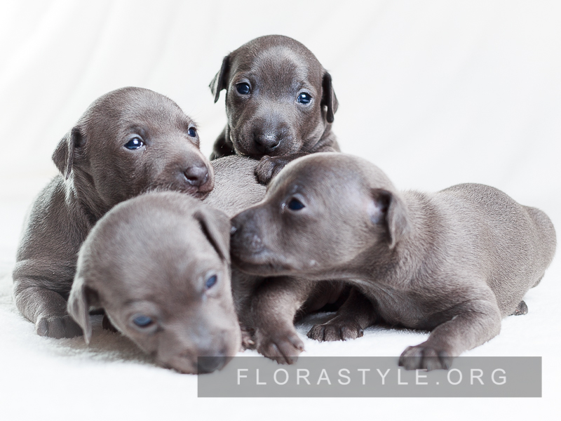 Italian Greyhound puppies Kennel Flora Style | Litter D