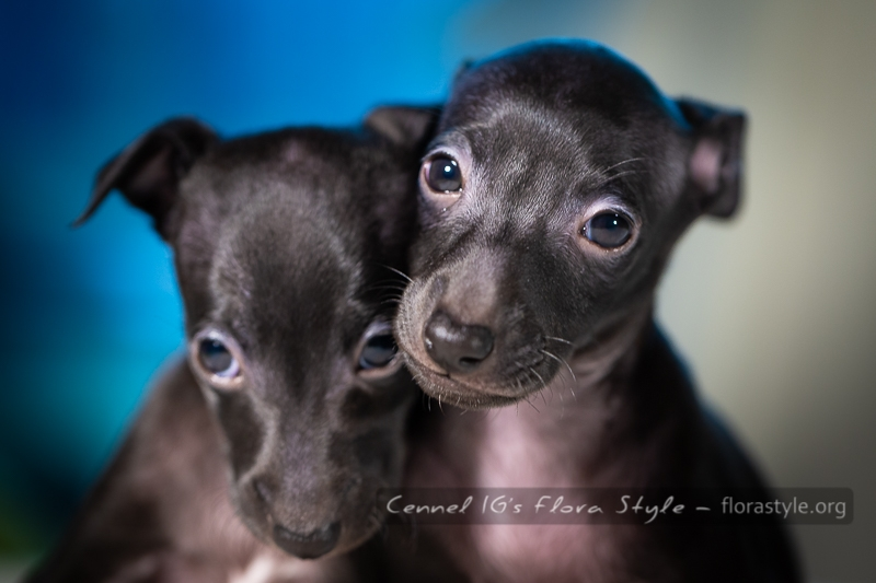 Italian Greyhound puppies Kennel Flora Style | Litter M