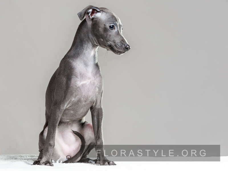 Puppy Italian Greyhound kennel Flora Style Ukraine Kiev
