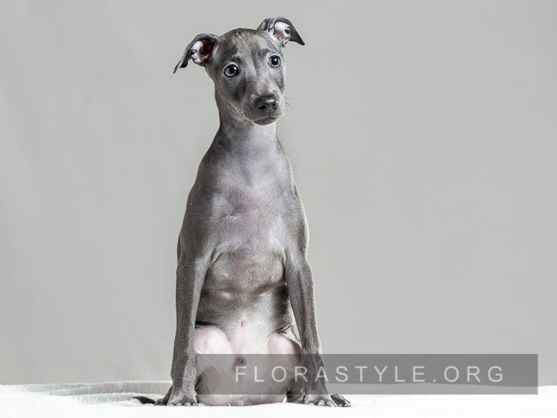 Puppy Italian Greyhound kennel Flora Style Ukraine Kiev