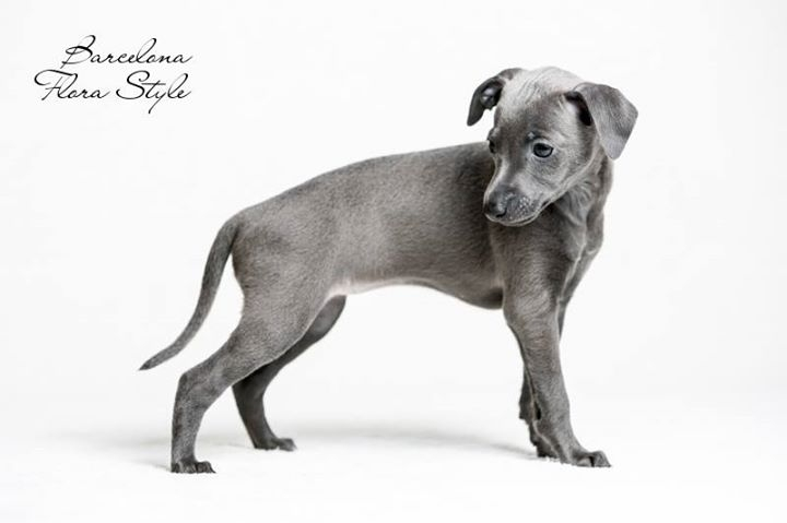 Italian Greyhound puppies Kennel Flora Style | Litter B