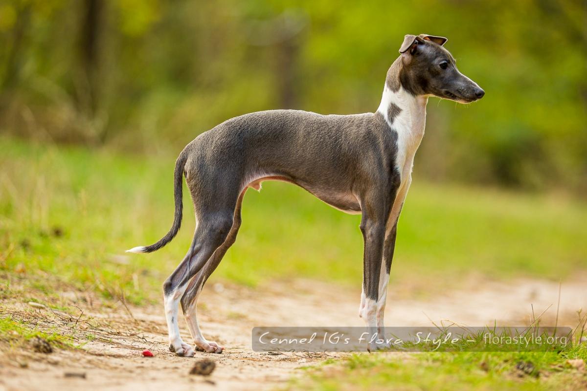 Italian Greyhound puppies Kennel Flora Style | Litter F