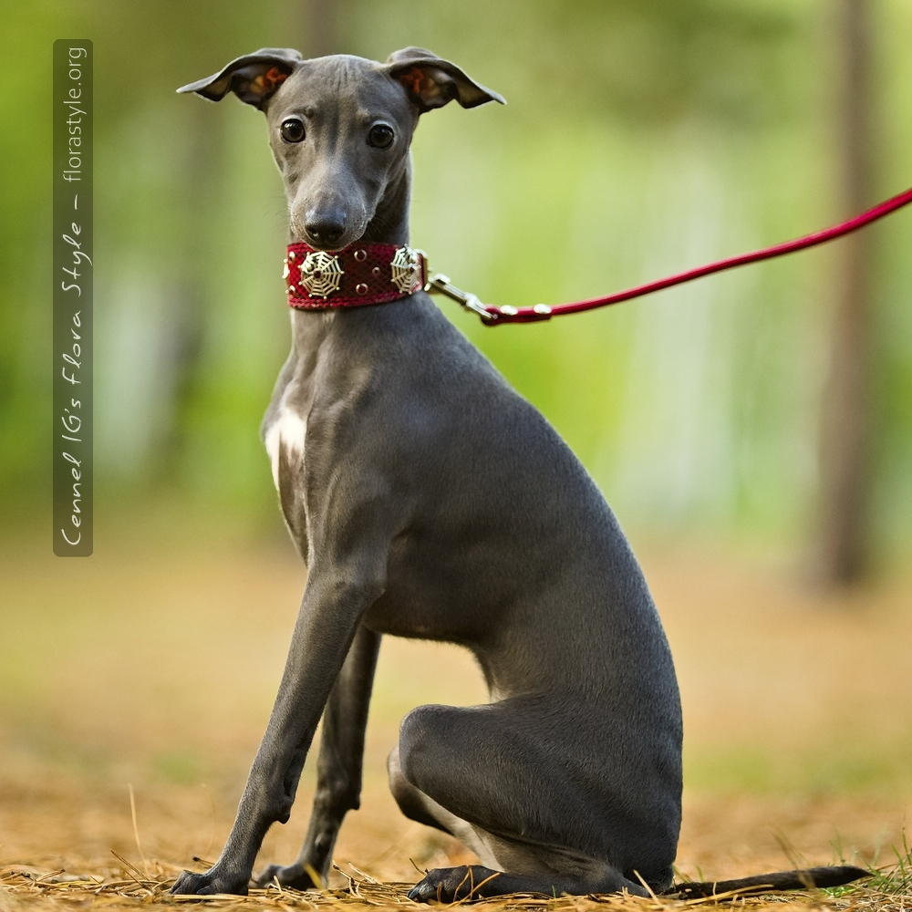 Italian Greyhound puppies Kennel Flora Style | Litter F