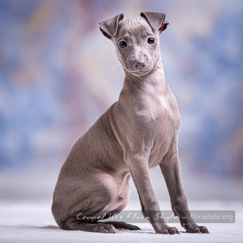Italian Greyhound puppies Kennel Flora Style | Litter G