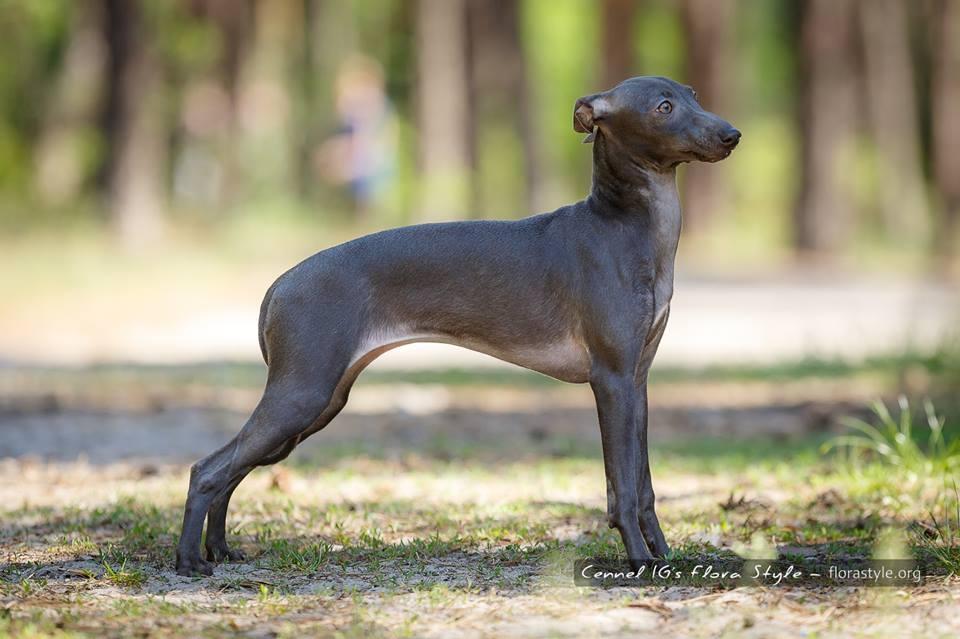 Щенки левретки в питомнике Flora Style | Italian Greyhound puppies Kennel Flora Style | Isida Flora Style