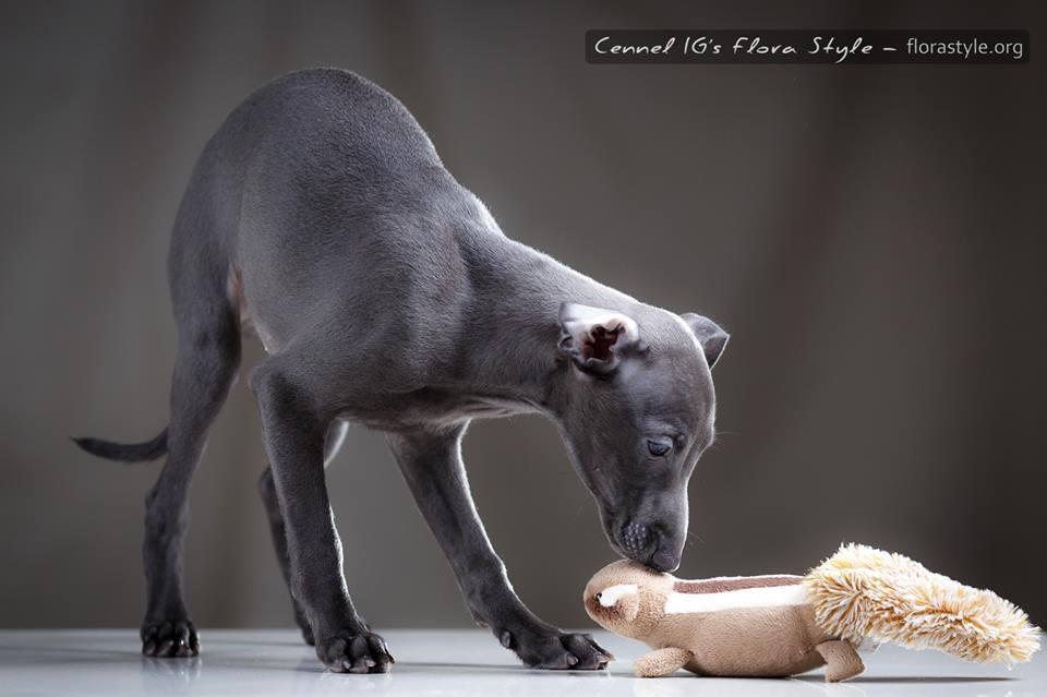 Щенки левретки в питомнике Flora Style | Italian Greyhound puppies Kennel Flora Style | Indiana Jones Flora Style