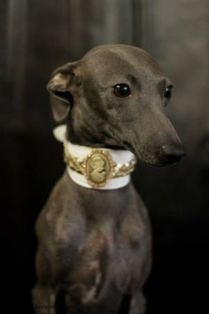 collars for italian greyhounds levrieri camei